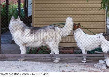 Two Dogs, A Pet Husky And A Mongrel, Guard The House In The Yard Behind The Fence In Summer