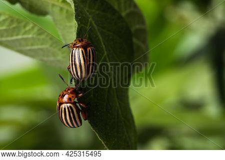 Colorado Potato Beetles On Green Leaf Against Blurred Background, Closeup