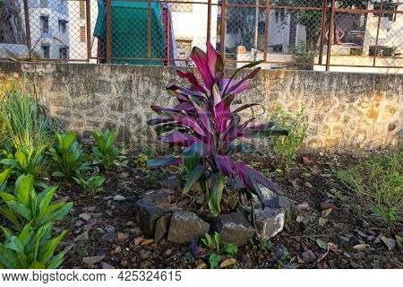 Stock Photo Of Tropical Purple Color Cordyline Fruticasa Plant Blooming In The Garden Area At Kolhap
