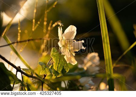 Jasmine Flowers In The Rays Of The Warm Setting Sun: Concept: Warmth, Aroma