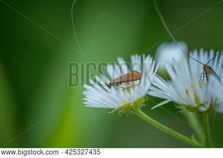 The Little Moth Feeds On Chamomile Nectar. Concept: Pollination, Nectar, Pollen