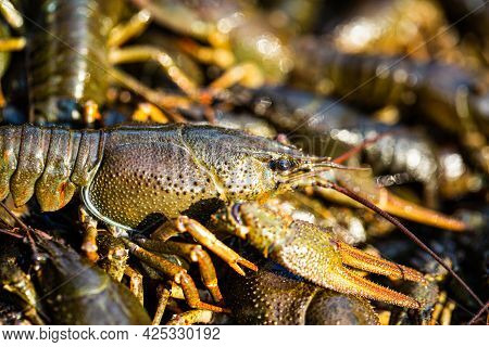 Crayfishs Live, River Food. Living Crayfish In Water. Caught Crayfishs. Cancers On The Background Of