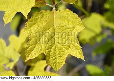 Oakleaf Hydrangea Leaves - Latin Name - Hydrangea Quercifolia