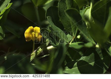 Yellow Flower Of Peanut Nut Closeup On A Blurred Floral Background. Selective Focus