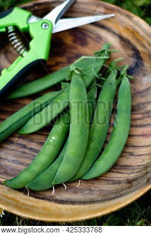 Freshly Harvested Green Runner Beans Vegetable Harvest