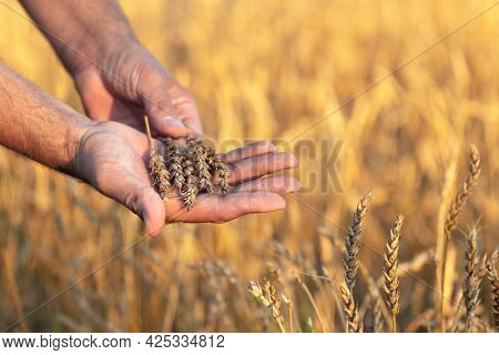 Farmer Hands Holding Ripe Wheat Ears On The Wheat Field In Sunny Summer Evening During Sunset. Harve