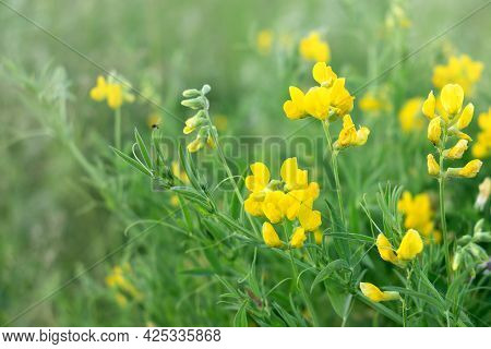 Blooming Yellow Lathyrus Pratensis Wildflower Among Green Grass In Summer Field