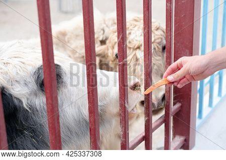 Man Feeding Animals In The Zoo.man Feeding Animals In The Zoo