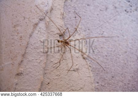 Poisonous Little Spider On The Wall Of The House. Home Spider. Spiders With Long Slender Legs At Hom
