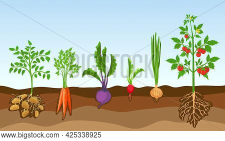 Vegetables In Soil. Grow Farm Plants, Potato, Tomato, Onion, Radish, Beetroot And Carrot. Cartoon Ve