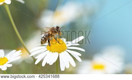 Close up of honey bee flying and collecting nectar pollen on white daisy flowers.