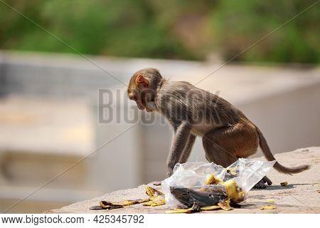 Baby Monkey Sitting On Wall , Eating Banana , Rhesus Macaque Monkey