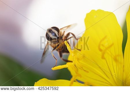 A Bee Sits On A Yellow Flower And Collects Nectar. Sunny Day In The Garden. Copy Space
