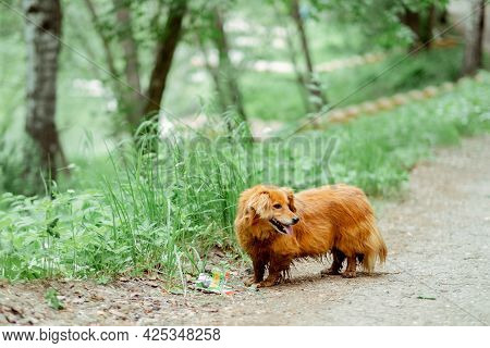 Small Ginger Dog Of The Nevskaya Orchid Breed For A Walk. Ed-haired Dog Walks In The Park. Purebred