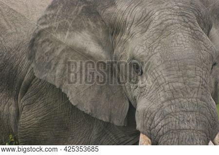 Close-up Portrait Of Wild Elephant Head (loxodonta Africana) Ngorongoro Crater, Tanzania.