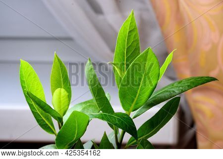Young Plant Laurel Noble Grows In A Pot With Soil On The Windowsill Of A City Apartment Close-up
