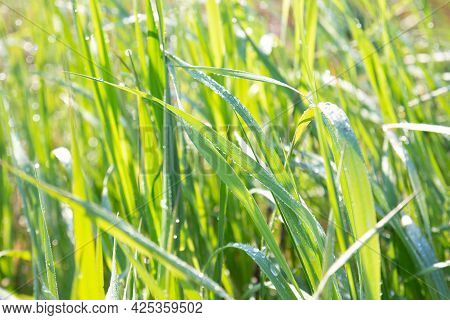 Green Grass With Dew Drops On A Sunny Summer Day. Natural Fresh Background