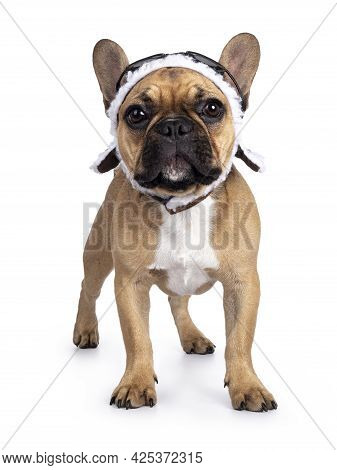 Cute Young Fawn French Bulldog Youngster, Standing Facing Front Wearing Brown Pilot Hat And Goggles.