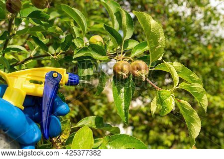 Treating Pear Branches In The Summer With A Fungicide Against Pests Or Bacterial Diseases. Spraying