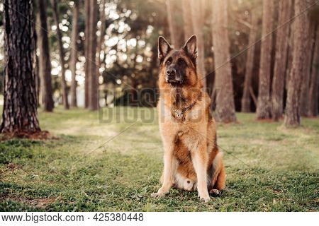 German Shepherd Dog Sits In The Woods With Pine Trees In The Background, Being Watchful And Fearless