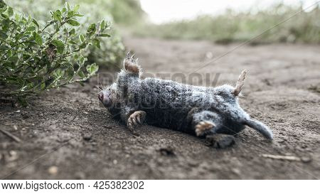 A Dead Mole Covered With Frost Lies On A Country Road