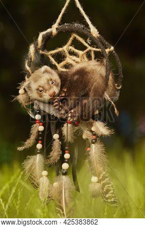 Ferret Baby Of Sable Color Posing For Portrait In Handmade Dreamcatcher