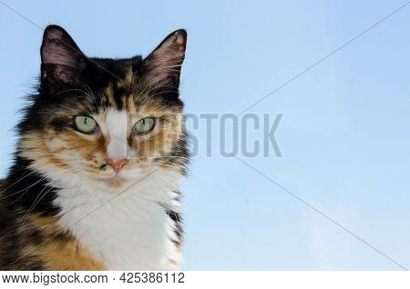 Tricolor Unusual Cat With Beautiful Large Green Eyes. A Beautiful Fluffy Cat Looks Straight Ahead. F