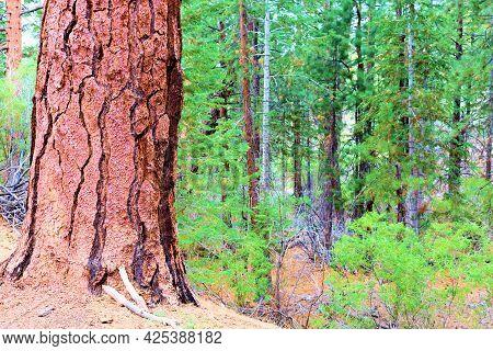 Jeffrey And Douglas Fir Trees At An Old Growth Alpine Pine Forest Taken In The Rural San Bernardino