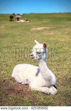 Lone Baby Alpaca, Also Known As Cria, Resting In A Meadow.