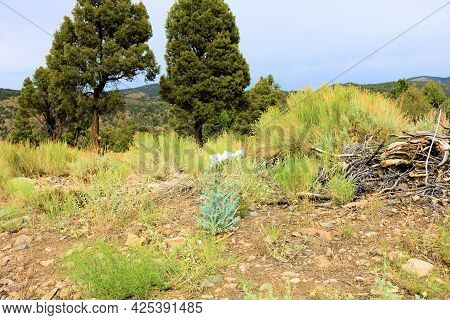 Alpine Meadow With White Poppy Wildflowers Surrounded By Juniper And Pinyon Pine Trees Taken At A Te