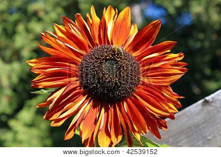 Red And Orange Sunflower With Bee