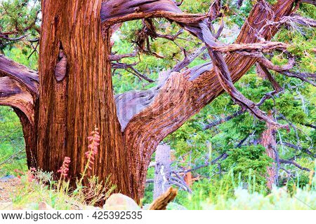 Twisted Branches And Smooth Bark On An Old Growth Cedar Tree Besides An Alpine Meadow With Wildflowe