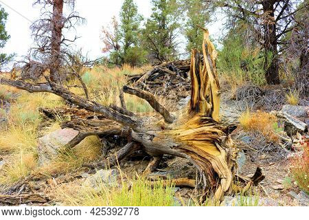 Fallen Log With Colorful Wood On An Alpine Meadow Besides A Temperate Pine Forest Taken In The Rural