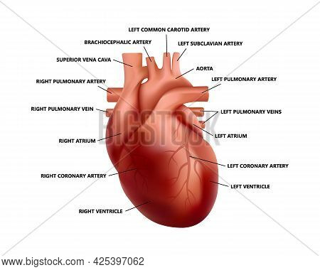 Realistic Heart Anatomy With Descriptions. Diagram Of Human Heart Illustration.