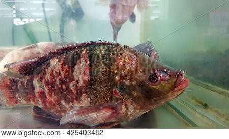 Tilapia With Many Wound, Lesion On Body In Glass Cabinet For Sale At Fish Market Or Supermarket. Gro