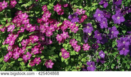 Purple And Pink Clematis Flower On The Vine. Blooming Clematis In The Garden