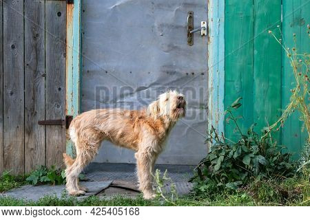 A Young Cute Shaggy Dog, A Pet Of The Wheaten Terrier Breed Howling Barking Stands Near The Gate Of