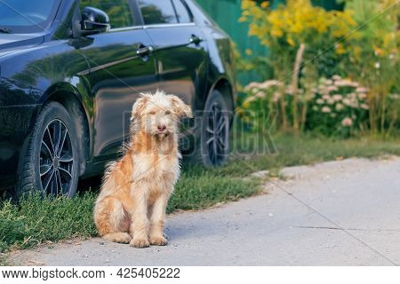Young Cute Shaggy Dog, A Pet Of The Wheat Terrier Breed Sits Near A Car In The Village Outdoors In S