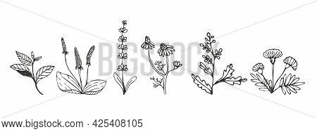Collection Of Medicinal Herbs And Medicinal Plants In Sketch Style. Preparation Of Medicines, Oils,
