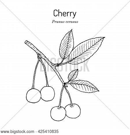 Sour Cherry Or Prunus Cerasus, The Official State Fruit Of Utah. Hand Drawn Botanical Vector Illustr