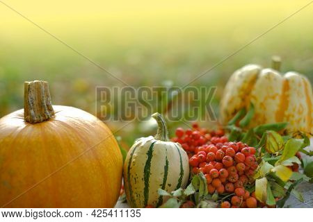 Pumpkin Harvest. Pumpkins And Rowan Bunches In A Sunny Autumn Garden.farmed Organic Pure Vegetables.