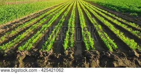 Carrot Plantations Grow In The Field. Vegetable Rows. Growing Vegetables. Landscape With Agricultura