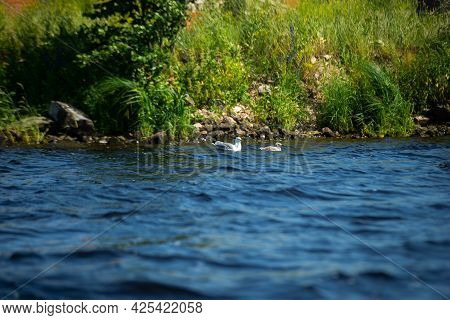 Mother Seagull With Her Baby Swims In The Blue Water Near The Shore With Green Grass.