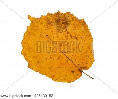 Isolated Orange Red Gold Autumn Fall Hazel Leaf On White Background