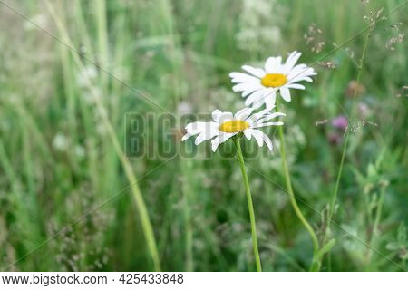 Blooming Daisies Among The Green Grass In The Meadow In Summer