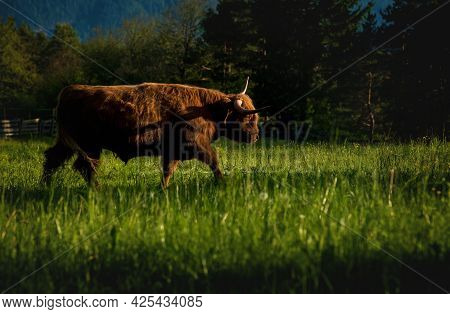 Red Scottish Highland Cattle In Alpine Mountain Landscape On Sunlit Meadow Along Evergreen Forest Du