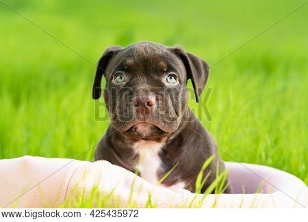 Funny, Serious Small Dog Breed American Bully, Looks Directly Into The Camera. Cute, Sad Puppy Sitti