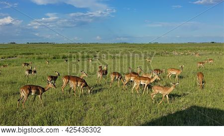 A Group Of Impala Antelopes Graze On The Lush Green Grass Of The African Savannah. Blue Sky, Clear S