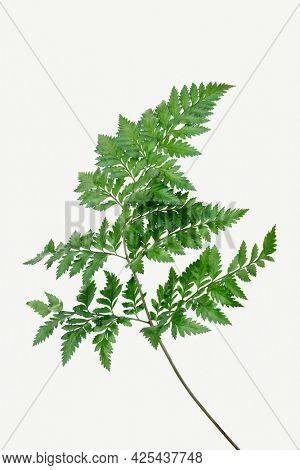 Fresh green leatherleaf fern mockup
