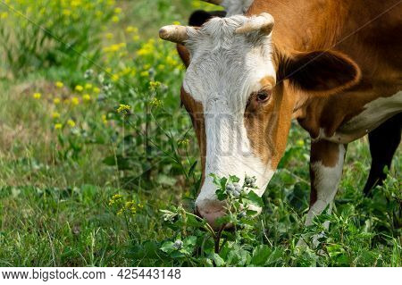 A Cow Grazes On A Green Field. Cow Head Close Up. The White-brown Cow Is Eating Grass.